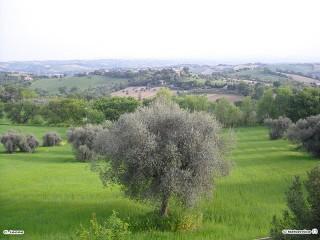 Un ulivo a Scapezzano di Senigallia