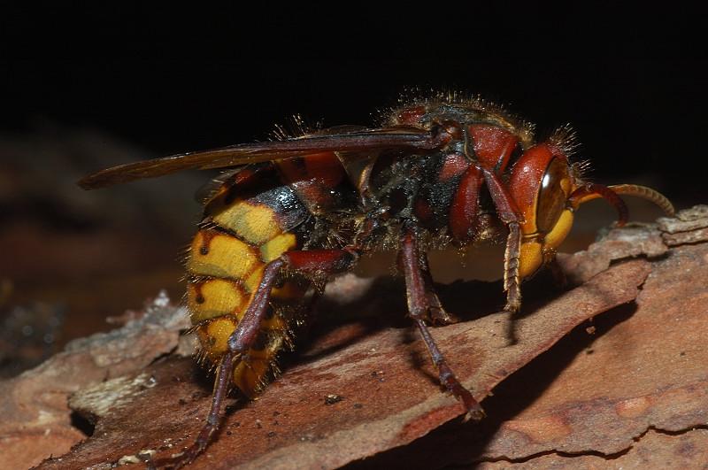 Senigallia punta da calabroni rischia la vita for Puntura vespa cane