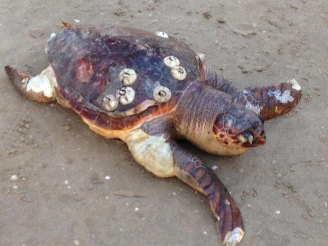 La tartaruga ritrovata morta davanti i Bagni 63