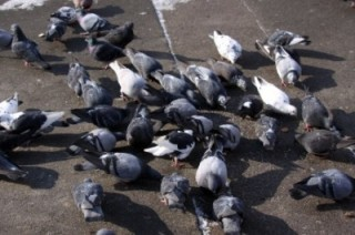 Alcuni piccioni e colombi urbani