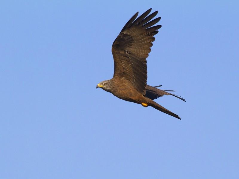 Uccello rapace in volo