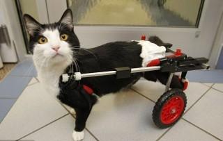 Un Gatto paralizzato alle zampe posteriori