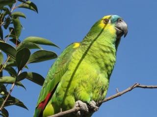 Un esemplare di pappagallo amazzone fronteblu