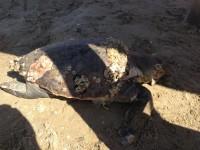 Tartaruga marina senigallia notizie 19 05 2015 60019 for Pomodoro senigallia