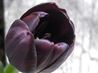 Un tulipano nero