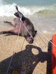 Il cinghiale rinvenuto in mare a Porto Sant'Elpidio