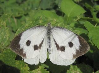 "Farfalla ""Pieris brassicae"""