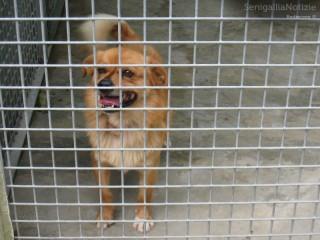 """Cani in gabbia: uno degli """"ospiti"""" al canile comunale di Senigallia"""