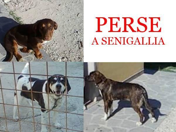 Tre cani persi a Brugnetto di Senigallia
