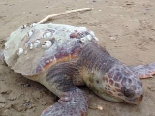 Un esemplare senza vita di tartaruga marina della specie Caretta Caretta rinvenuto a Senigallia