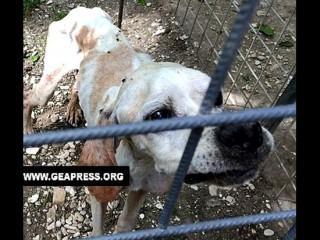 Uno dei cani sequestrati a Chiaravalle, detenuti in pessime condizioni igienico-sanitarie, fonte: Geapress.org