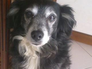 Il cane Tommy, che si è smarrito a Senigallia