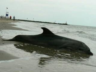 Il delfino spiaggiato a Senigallia il 12 settembre. Foto di Francesco Cini