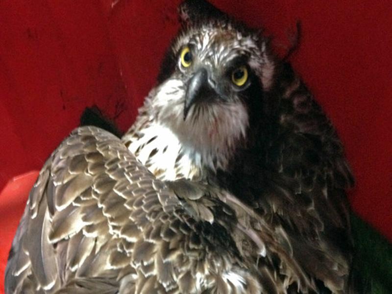 Il falco pescatore soccorso dall'Enpa