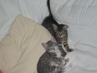 Due gattine da dare in affido