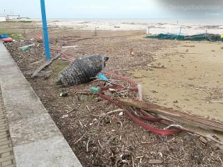 Detriti sulla spiaggia a Marzocca di Senigallia