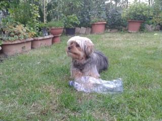 Il cane Ori, smarrito a Vallone di Senigallia