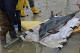 Delfino spiaggiato a Falconara marittima, scatta l'allarme ma invano