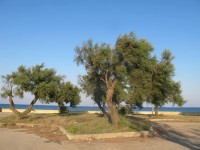 Tamarix gallica, della famiglia delle Tamaricaceae: la Tamerice comune