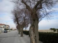 Le tamerici sul lungomare Mameli di Senigallia