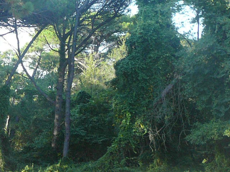 pineta, alberi