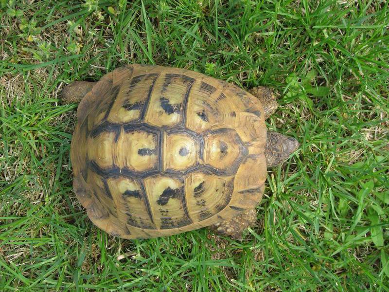 Una tartaruga di terra
