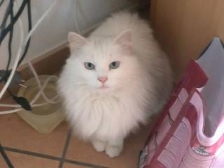 La gatta Cleo, smarrita a Senigallia