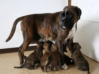 Cuccioli di boxer in vendita a Senigallia