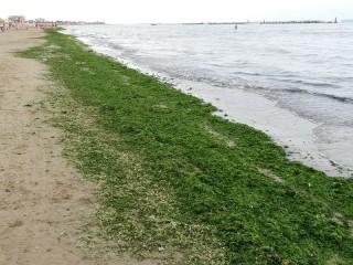Le alghe depositatesi sul lungomare Mameli di Senigallia