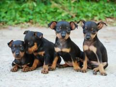 cuccioli di cane, pincher, cani, animali