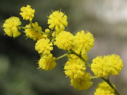 festa della donna, giornata internazionale delle donne, mimosa, mimose, fiori
