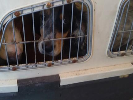 """Sequestrati 15 cani detenuti per ore all'interno di """"trasportini"""" stipati in un autoveicolo sbarcato da una nave proveniente dall'Albania"""