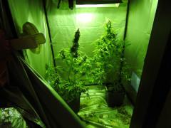 La marijuana all'interno della serra artigianale sequestrata a Senigallia