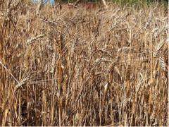 agricoltura, grano