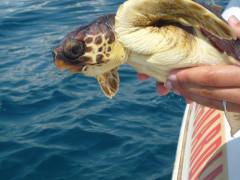 Il rilascio di una tartaruga grazie alla Fondazione Cetacea
