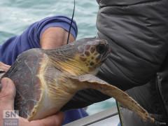 Spettacolare liberazione di tartarughe marine quella avvenuta sabato 5 novembre a Senigallia