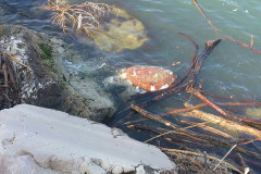 La carcassa di una tartaruga marina Caretta Caretta rinvenuta nelle acque del porto di Senigallia
