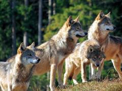 lupi, animali selvatici