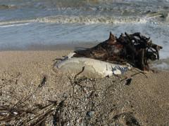 La carcassa di un delfino spiaggiato a Marzocca di Senigallia