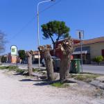 I mori gelsi in zona Borgo Bicchia dopo la potatura nella primavera 2017