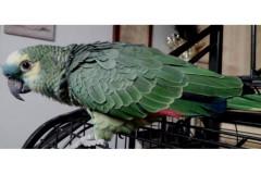 Il pappagallo George allontanatosi da Borgo Ribeca