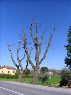 Una delle querce potate lungo strada Arceviese a Senigallia