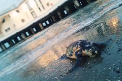 Un esemplare di tartaruga marina della specie Caretta Caretta rinvenuto nei pressi della Rotonda a mare di Senigallia