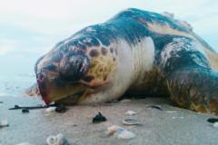 Un esemplare di tartaruga marina della specie Caretta Caretta rinvenuto sulla spiaggia di Senigallia