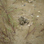 Uova di fratino sulla spiaggia di Senigallia