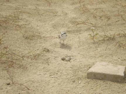 Un esemplare di fratino, con le uova, sulla spiaggia di Senigallia