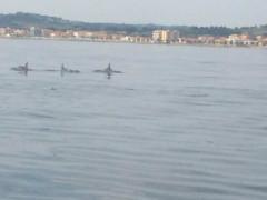 delfini a largo del Cesano