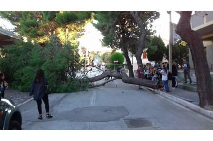 L'albero caduto a Marzocca di Sengallia