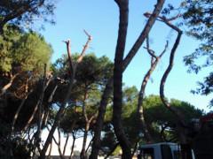 Taglio degli alberi alla pinetina della stazione di Senigallia