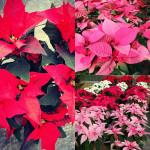 Stelle di Natale al vivaio Piantaviva di Senigallia